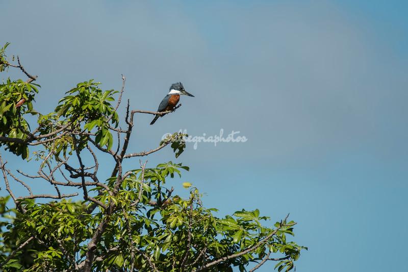 Ringed Kingfisher, Nicaragua