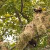 Montezuma Oropendolas and nests, Lake Nicaragua
