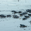 A bale of newly hatched sea turtles make their way to the Ocean, Morgan's Rock