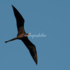 Magnificent frigate bird, Nicaragua