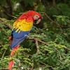 Scarlet Macaw, Morgan's Rock, Nicaragua
