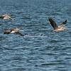 A flock of pelicans in flight, Ometepe Island