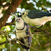 A pair of White throated magpie jays, Ometepe Island, Lake Nicaragua