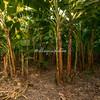 Plantain plantation, Ometepe Island, Lake Nicaragua