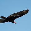 Turkey vulture in flight, Ometepe Island