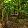 Plantain plantation, Ometepe Island