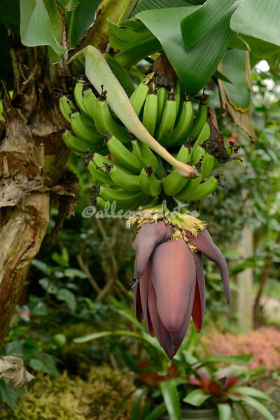 Bunch of plantains, Ometepe Island, Lake Nicaragua