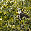 An osprey on Lake Nicaragua