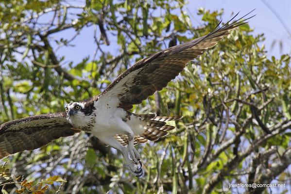 Osprey - Rio San Juan