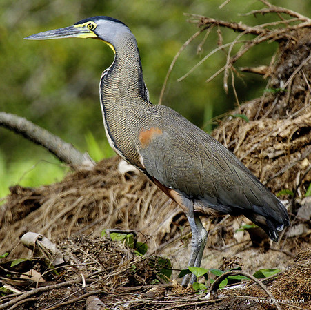 Bare-throated Tiger-Heron - Papaturro