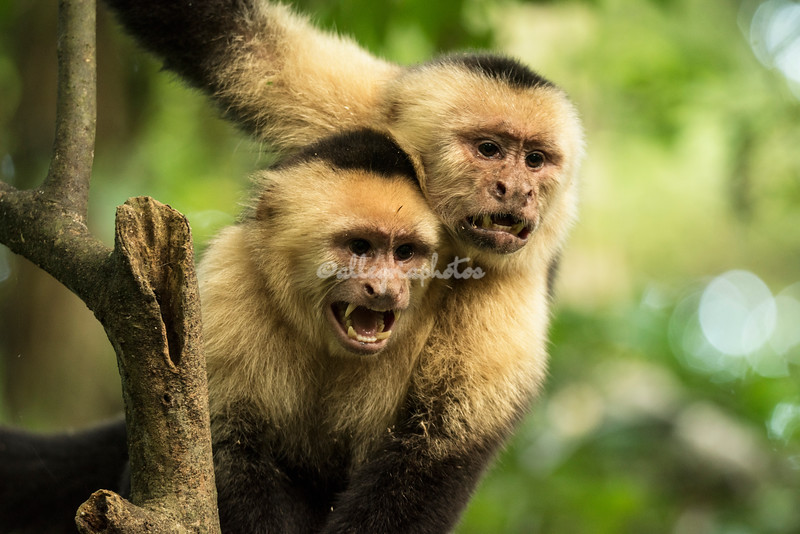 A pair of white faced capuchin monkeys