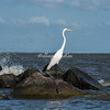 Great White Egret on the rocks