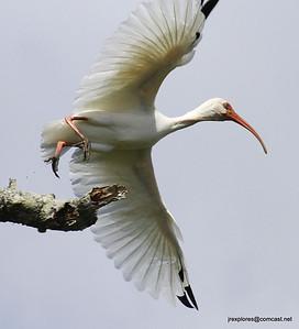 White Ibis - Rio San Juan