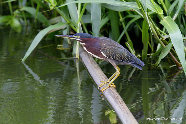 Green Heron - Papaturro