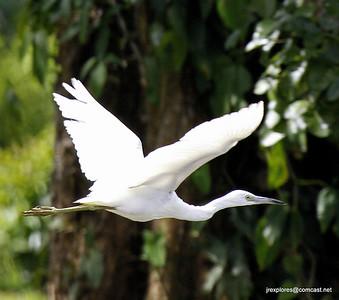 Snowy Egret - Rio San Juan