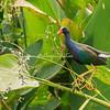 Purple Gallinule, Lake Nicaragua