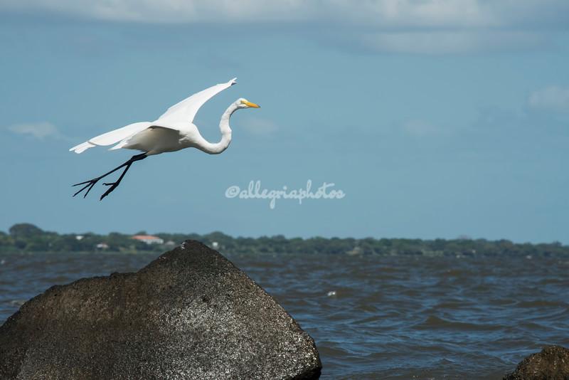 Great White Egret in flight, Lake Nicaragua