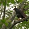 Common Black Hawk, Lake Nicaragua