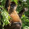 Pregnant spider monkey, Lake Nicaragua