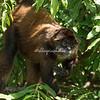 Spider monkey, Las Isletas, Lake Nicaragua