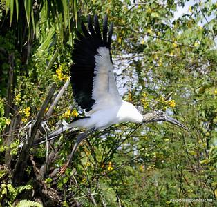 Wood Stork - Rio San Juan