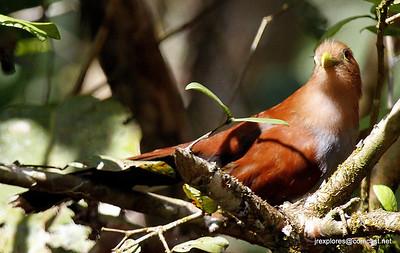 Squirrel Cuckoo - Los Guatuzos