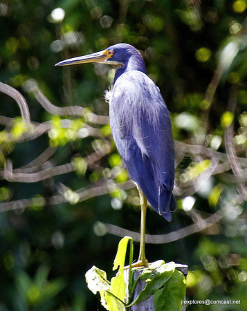 Little Blue Heron - Los Guatuzos