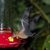 Orange Nectar Bat (Lonchophylla robusta) - Canopy Lodge