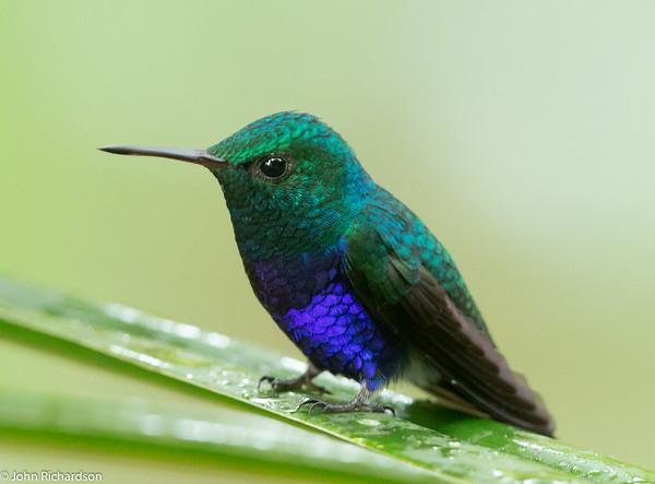 Violet-bellied Hummingbird (Damophila julie) -  Gamboa