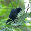 Scarlet-rumped Cacique (Cacicus uropygialis)  - Gamboa