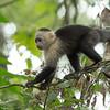 White-faced Capuchin (Cebus capucinus) - Gamboa