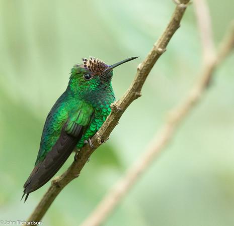 Violet-capped Hummingbird (Goldmania violiceps) - Cerro Azul
