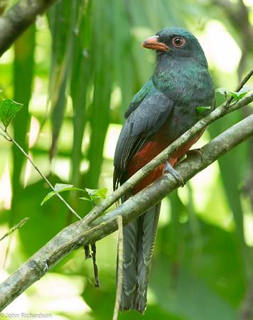 Slaty-tailed Trogon (Trogon massena) - Gamboa