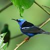 Red-legged Honeycreeper (Cyanerpes cyaneus) - Cerro Azul