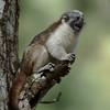 Geoffroy's Tamarin (Saguinus geoffroyi) - Cerro Azul