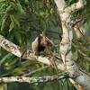 Northern Tamandua (Tamandua mexicana) - Gamboa