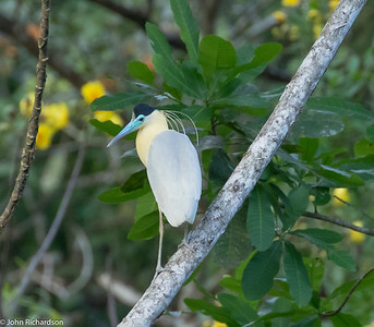 Capped Heron (Pilherodius pileatus) - Gamboa Rainforest Resort