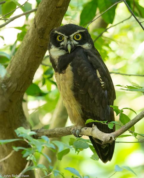 Spectacled Owl (Pulsatrix perspicillata) - Los Millonarios Road