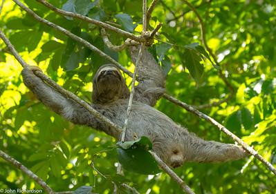 Brown-throated Three-toed Sloth (Bradypus variegatus) - San Francisco Reserve