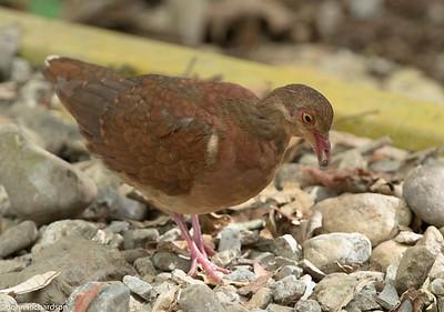 Ruddy Quail-Dove (Geotrygon montana) - Pipeline Trail