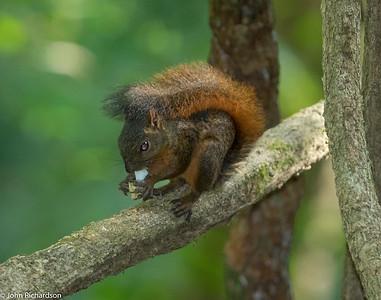 Red-tailed Squirrel (Sciurus granatensis) - Pipeline Trail