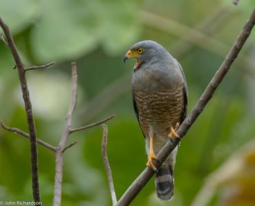 Roadside Hawk (Buteo magnirostris) - Quebrada Felix