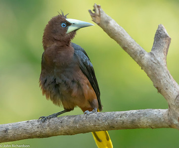 Chestnut-headed Oropendula (Psarocolius wagleri) - Canopy Camp