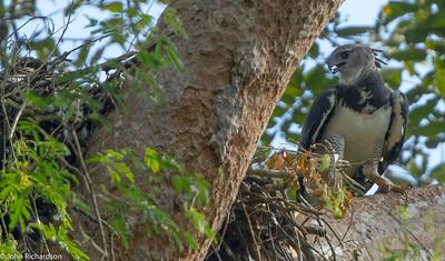 Harpy Eagle (Harpia harpyja) - Darien NP
