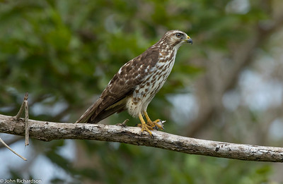 Gray Hawk juvenile (Buteo plagiatus) - Quebrada Felix