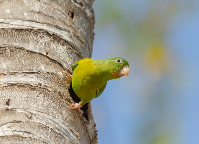 Orange-chinned Parakeet (Brotogeris jugularis) - along Yaviza Road