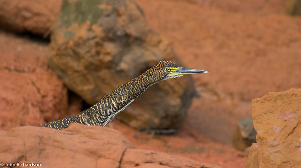 Fasciated Tiger-Heron juvenile (Tigrisoma fasciatum) - Manu Biosphere Reserve