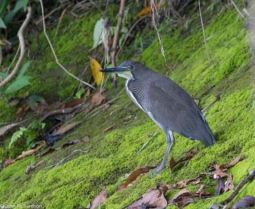 Fasciated Tiger-Heron (Tigrisoma fasciatum) - Manu Biosphere Reserve