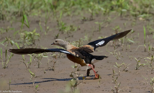 Orinoco Goose (Neochen jubata) - Manu Biosphere Reserve