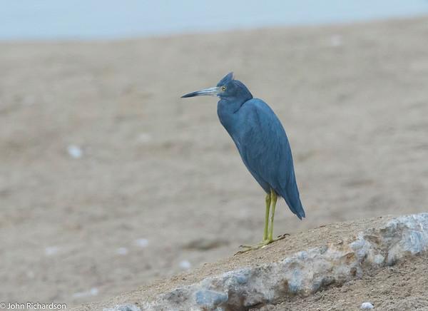 Little Blue Heron (Egretta caerulea) - Villa Marshes, Lima
